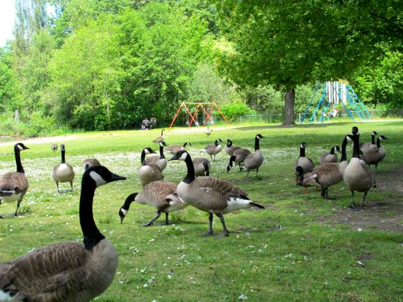So many geese!