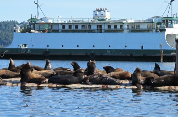 Sea lions #sol18